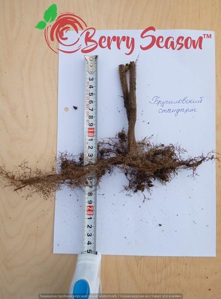 Побеги садовой ремонтантной малины Брусиловский Стандарт открытая корневая система