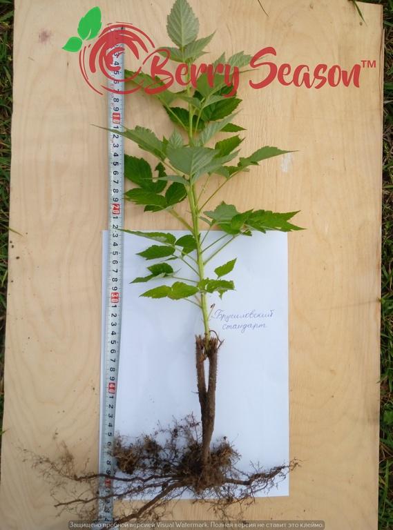 Побеги ремонтантной садовой малины Брусиловский Стандарт открытая корневая система