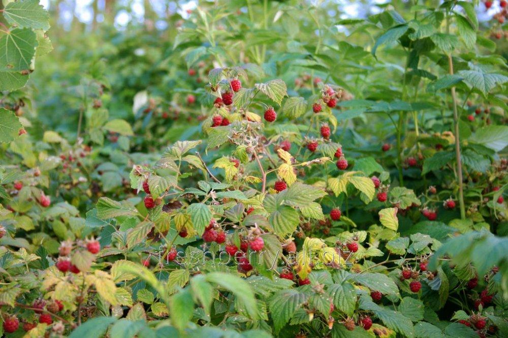 Кущи ремонтантной садовой малины Лесная