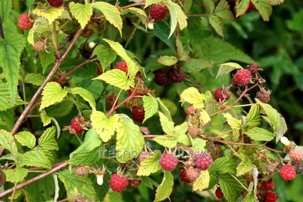 Побеги садовой малины Лесная открытая корневая система
