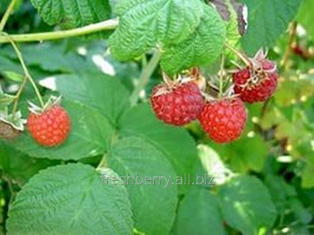 Садовые Отростки малины Лесная открытая корневая система