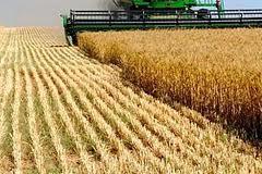 Купить Культуры зерновые, Пшеница от производителя оптом.