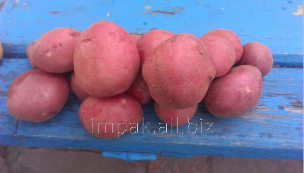 Фото к объявлению: продам картофель семенной ривьера, агата, тирас, лабелла, тайфун, пикассо, моцарт розница