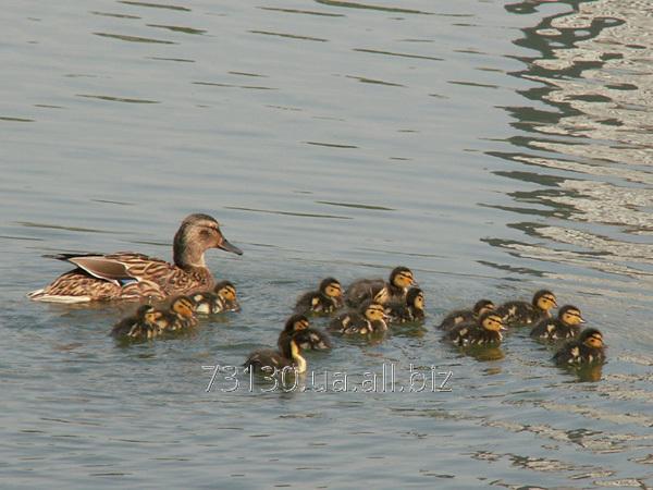 Buy Ducklings of wild duck sobstvennovyroshcheny