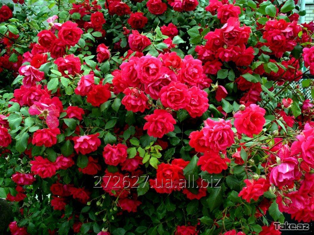 Купить  саджанці троянд-роз