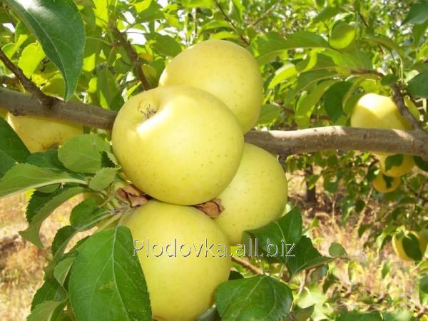 Саженцы яблони Голден Гибсон Смути
