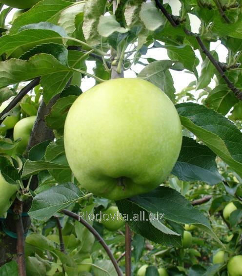 Саженцы яблони Грин Схем