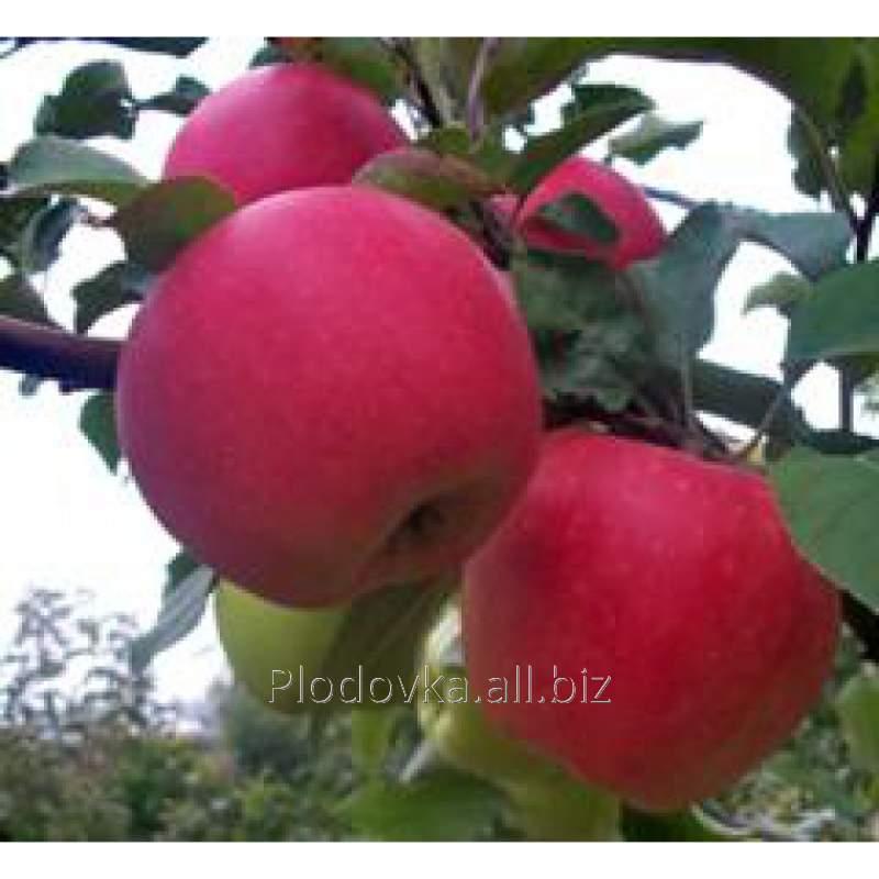 Саженцы яблони Дельбар Жубиле