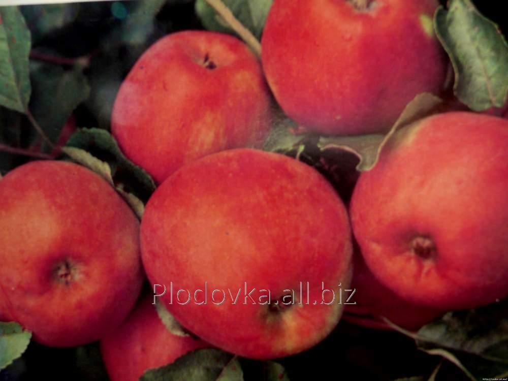 Саженцы яблони Зари Ред