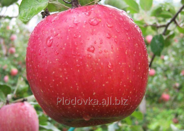 Саженцы яблони Кику -8