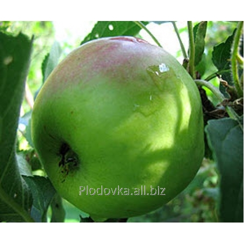 Саженцы яблони Мутсу NK