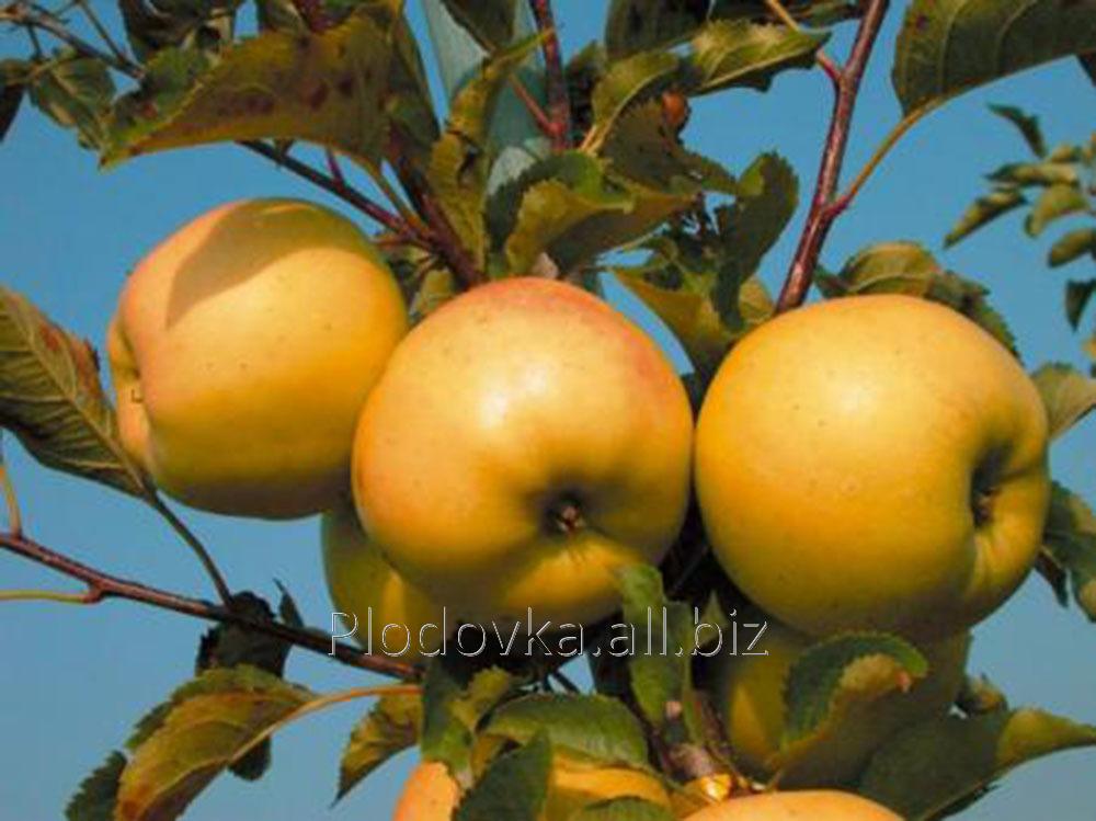 Саженцы яблони Орион