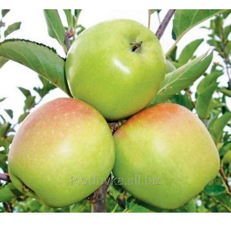 Саженцы яблони Ренет Кубанский