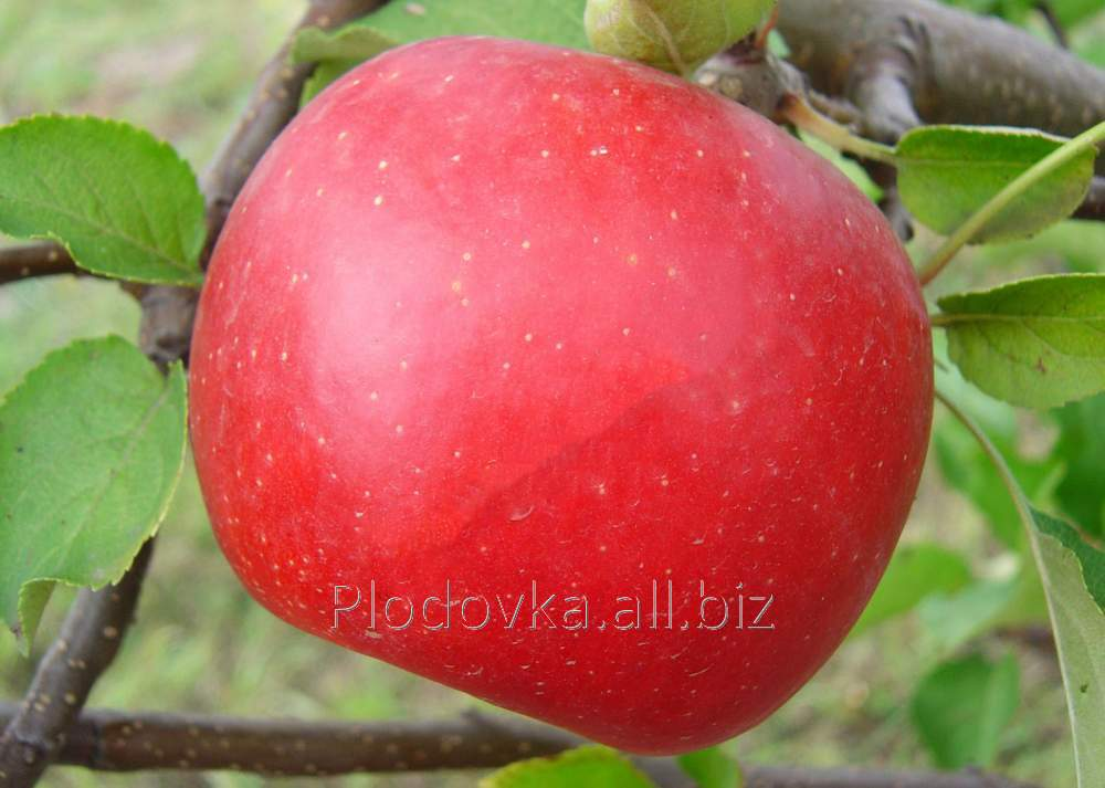 Саженцы яблони Рубин Степ