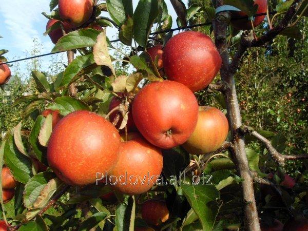 Саженцы яблони Сансэ