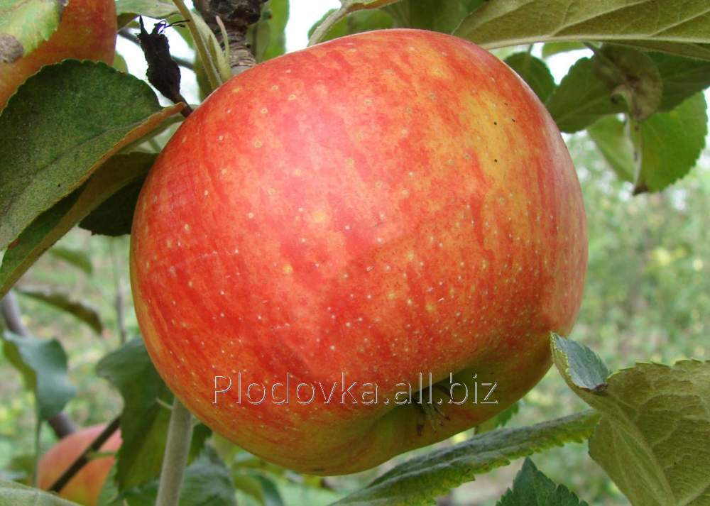Саженцы яблони Селесте