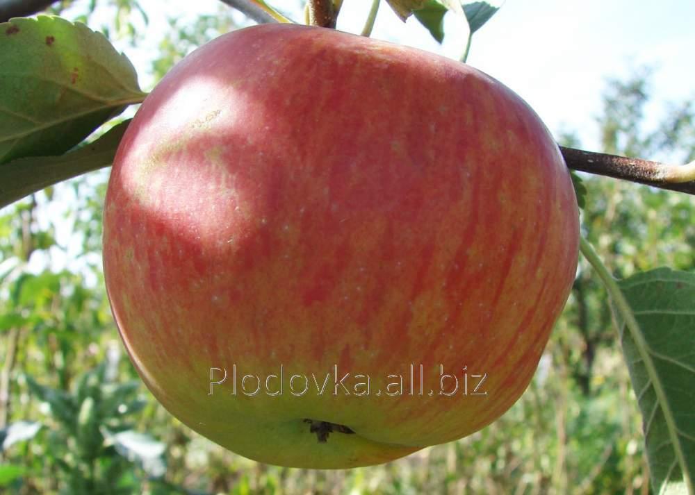 Саженцы яблони Рубинетте Россо