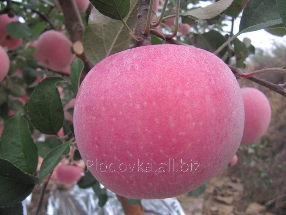 Саженцы яблони Томиро Фуджен