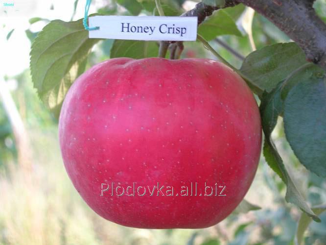 Саженцы яблони Хонейкрисп