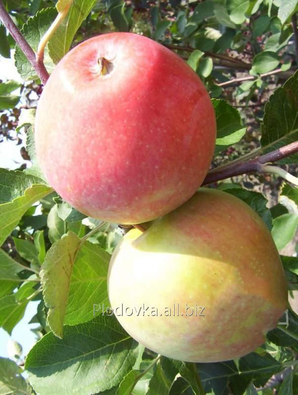 Саженцы яблони Цвет Каролины
