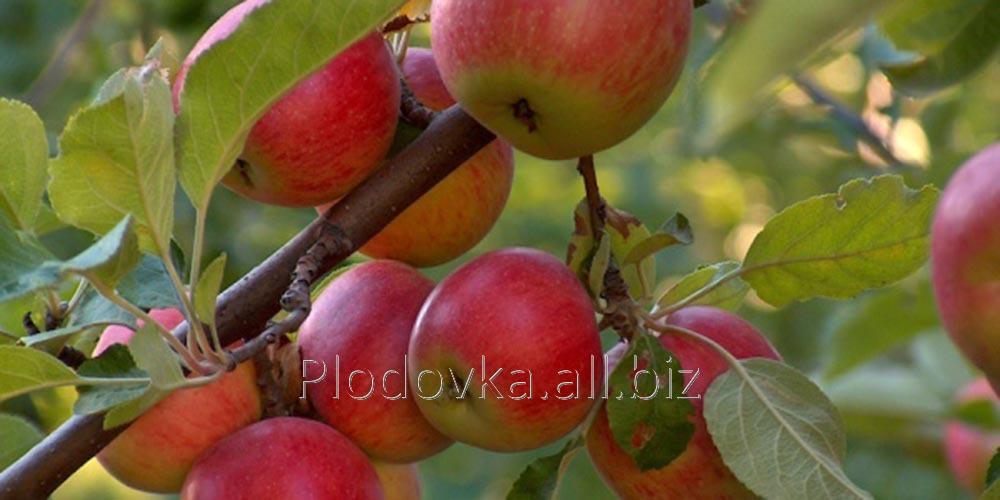 Саженцы яблони Эмбэсси