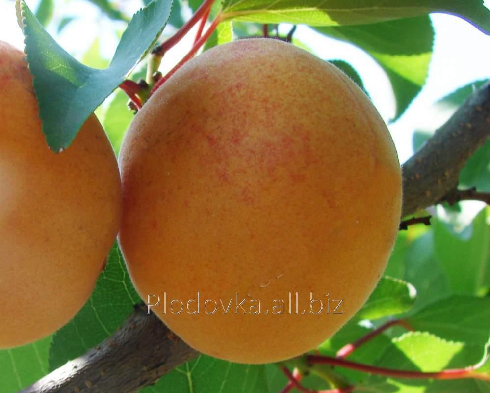 Саженцы абрикоса Полесский Крупноплодный