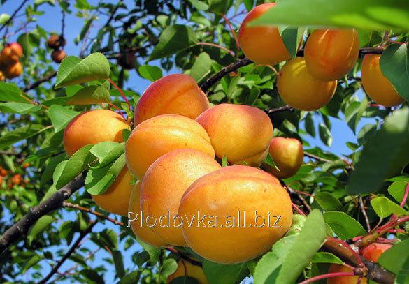 Саженцы абрикоса Баршерон