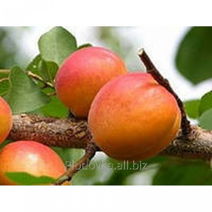 Саженцы абрикоса Харкот