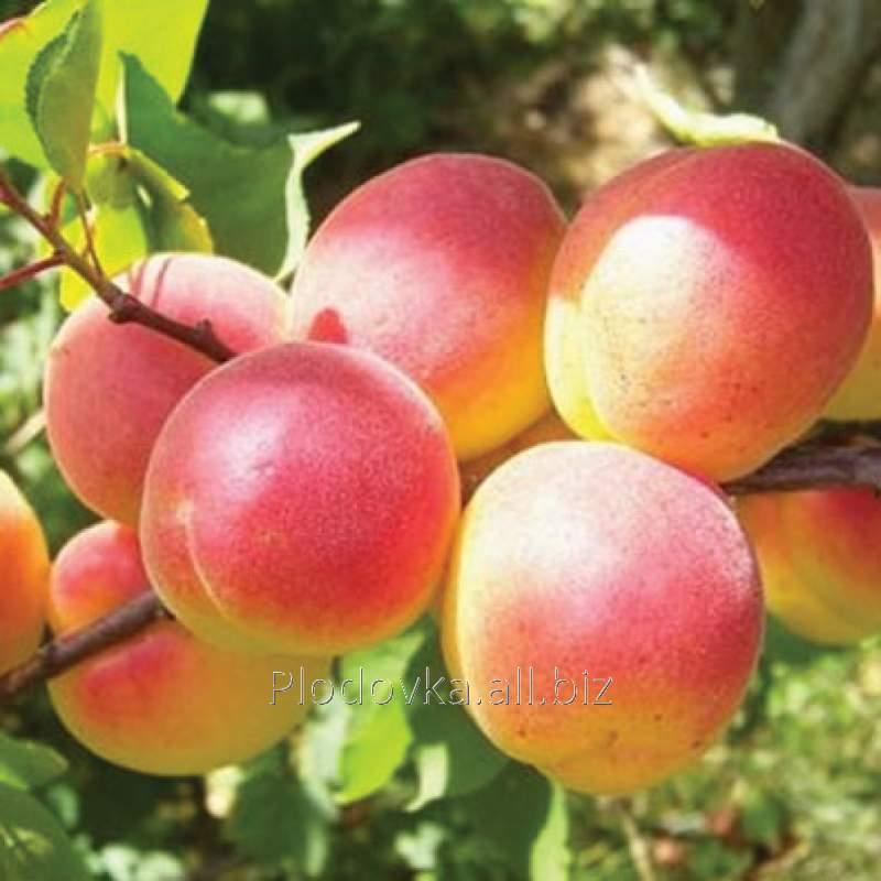 Саженцы абрикоса Цар Бибер