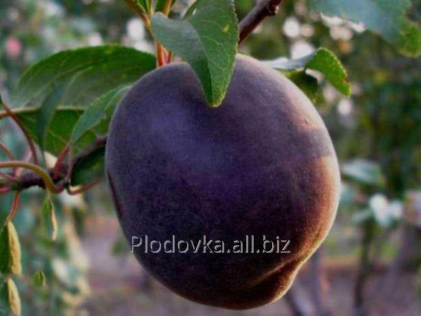 Саженцы абрикоса Шедевр