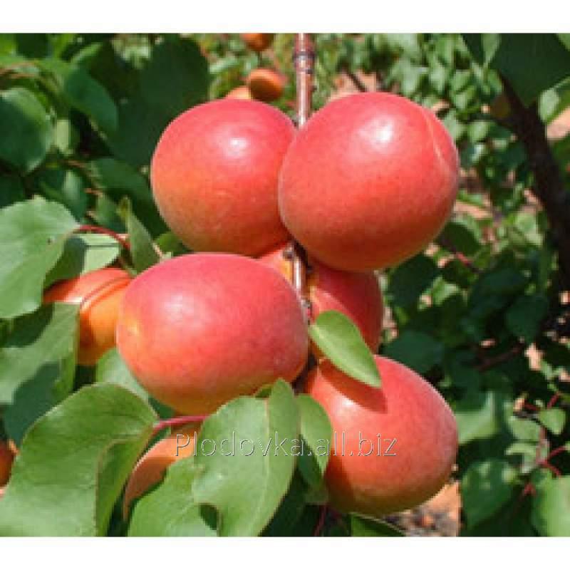 Саженцы абрикоса Эрли Оранж