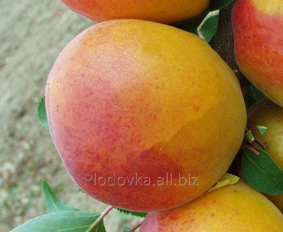 Саженцы абрикоса Nja-19