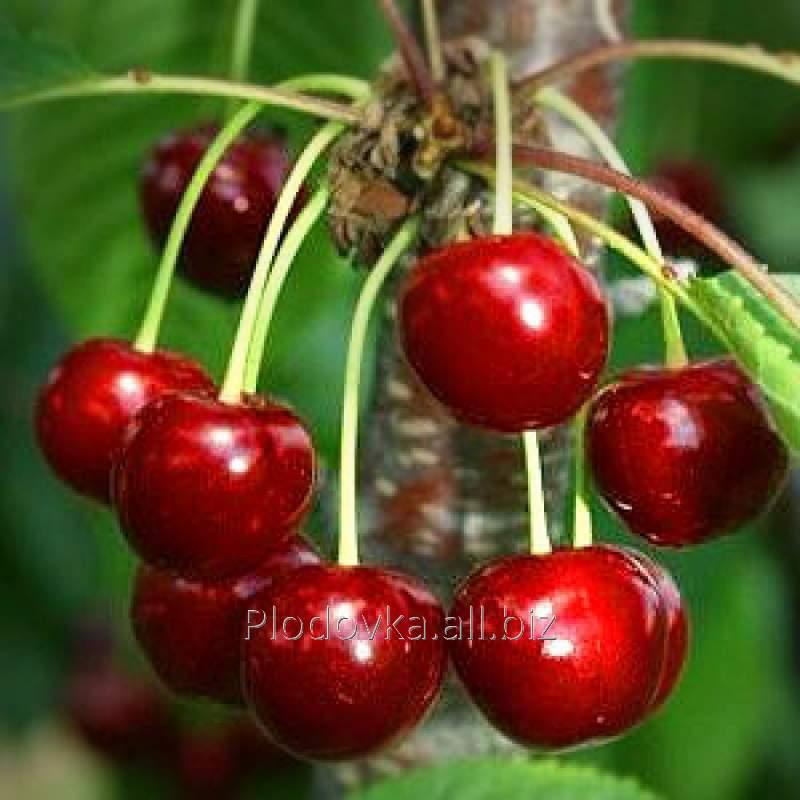 Саженцы вишни Мелитопольская Ранняя