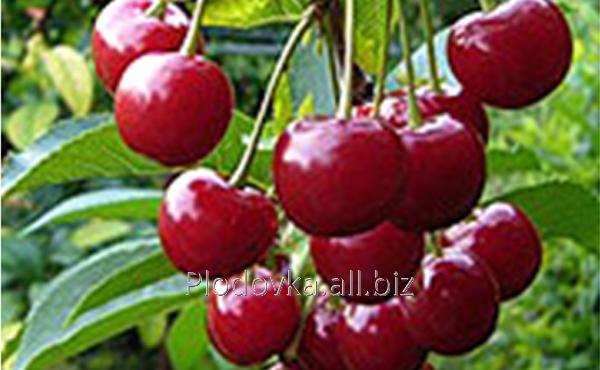 Саженцы вишни Ранняя-2