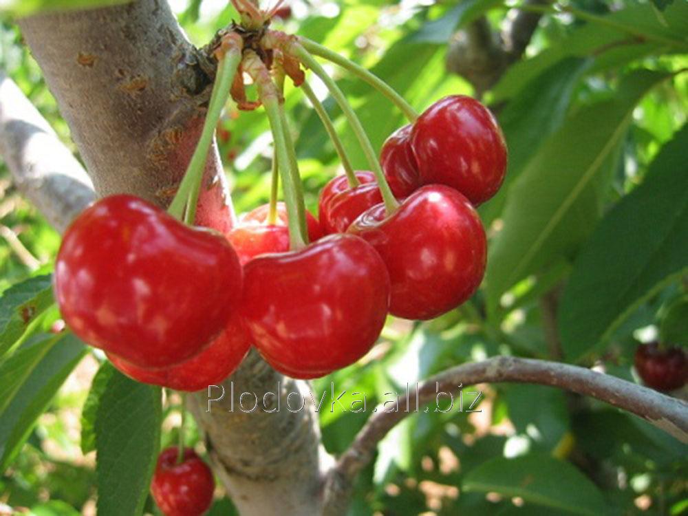 Саженцы вишни Малышка