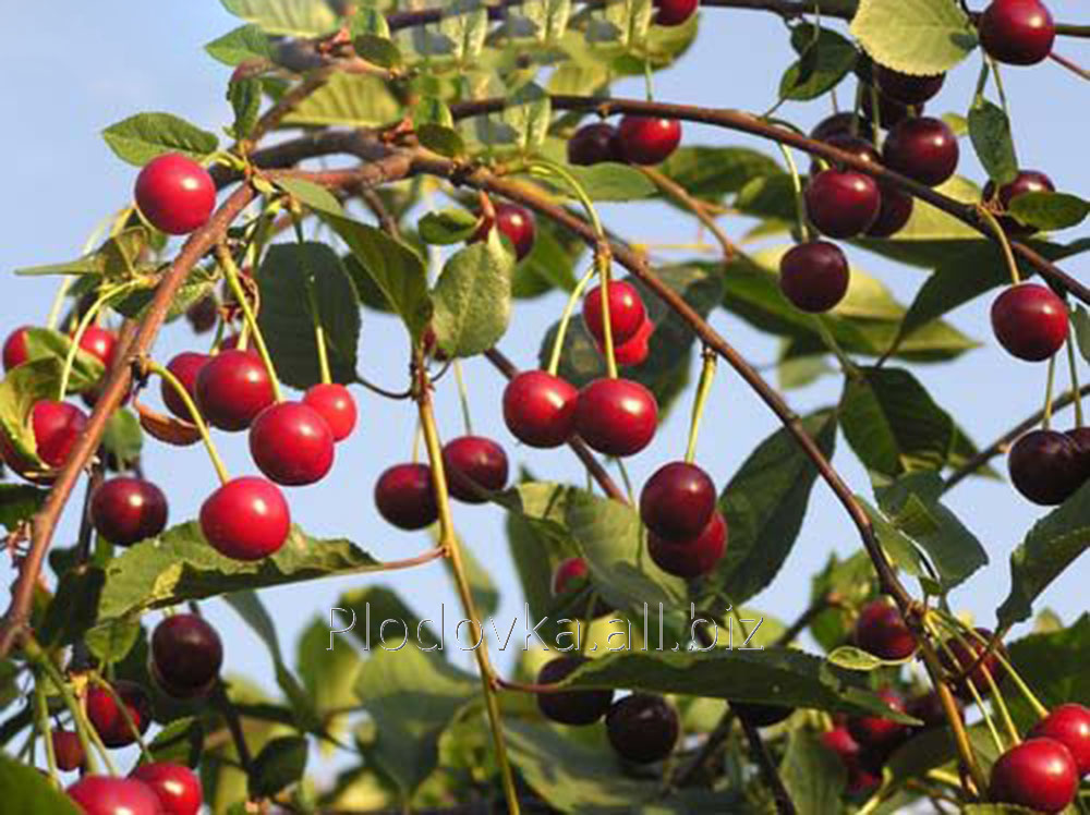 Саженцы вишни Славянка