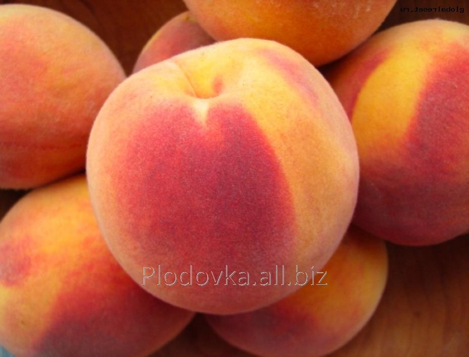 Саженцы персика Веллинч