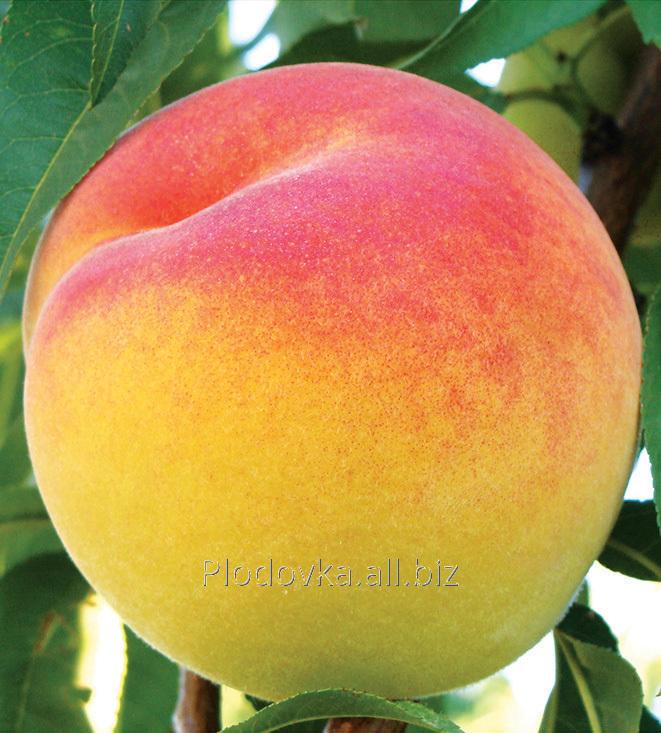 Саженцы персика Вардени