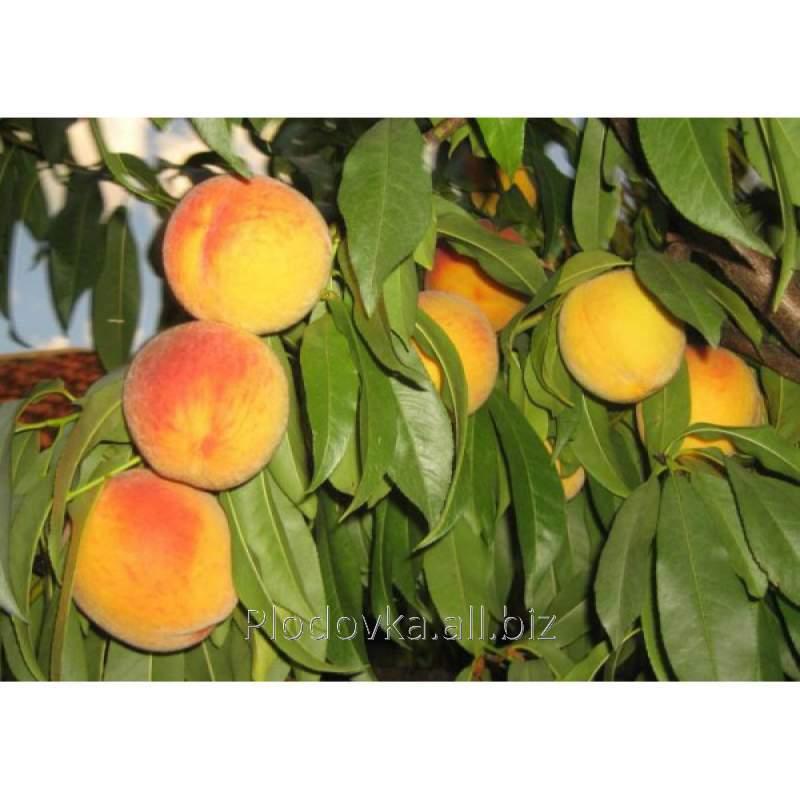 Саженцы персика Донецкий Желтый