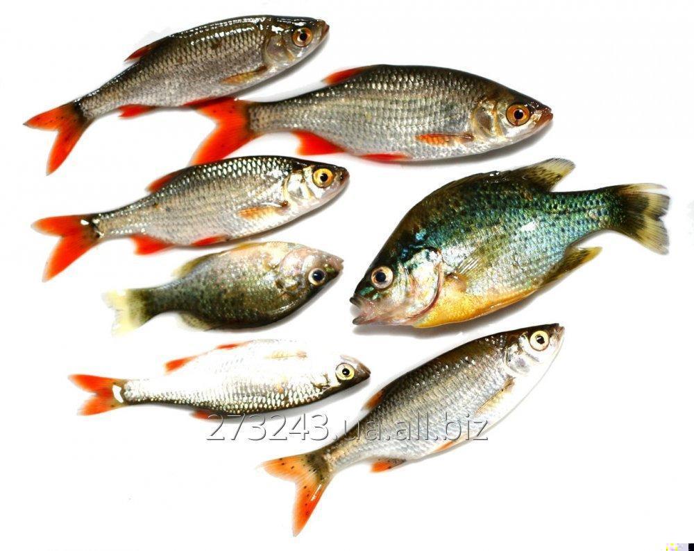 Картинки всех озерных рыб моделей занималась