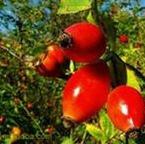Купити Шипшина плоди