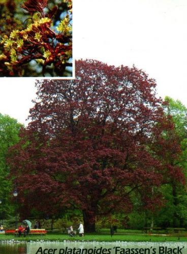 Купить Небольшой кустарник компактной Acer platanoides (клен остролистный) Faassen's Black