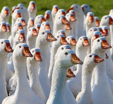 Купить Гуси. Продажа уток , гусей. Предлагаем так же суточный молодняк домашней птицы.