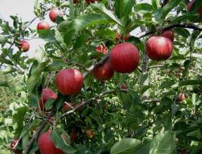 Купить Саженцы яблони Гала, Голден Делишес, Джонаголд, Чемпион