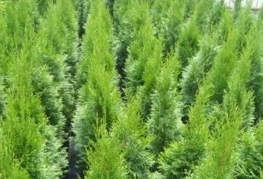 Buy Tui's saplings decorative