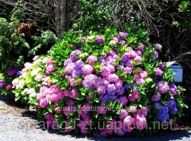 Купить Гортензия крупнолистная, или садовая