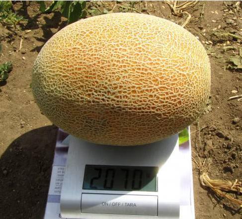 Дакаро f1 / dakaro f1 - дыня,  enza zaden 500 семян
