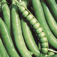 Джоф f1 / jof f1 — горох, syngenta 100 000 семян