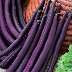 Фиолетовая / violet  — фасоль спаржевая, hortus 250 грамм