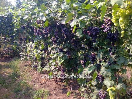Виноград темно-синий